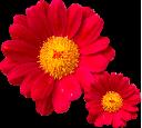 fiori_rossi